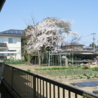 cherry blossom blooming